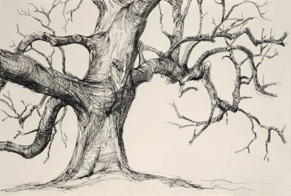 Granham Oak – 547mm x 360mm – Ink drawing – at The Dolby Gallery Oundle